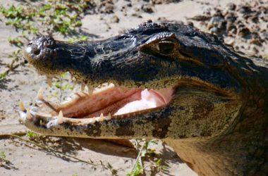 La faune du Pantanal